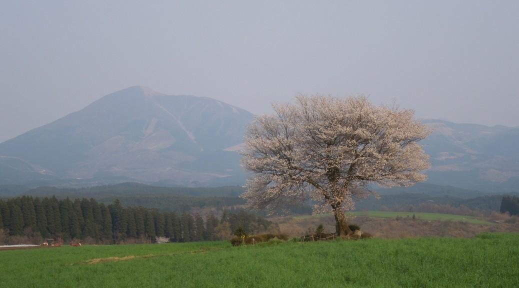 前原の一本桜